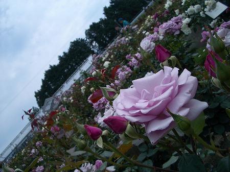 薔薇ですよ、薔薇。
