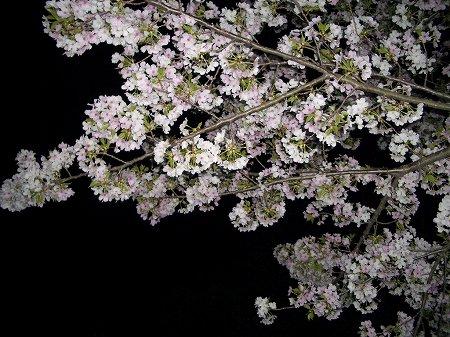 おなかいっぱいな夜桜。