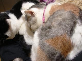 首輪つきメスの三毛猫