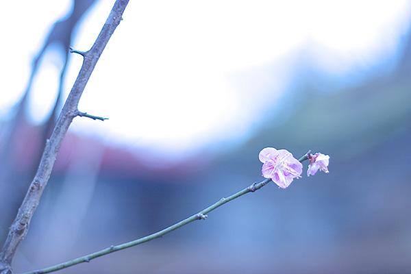 寄れない標準レンズは梅に向く