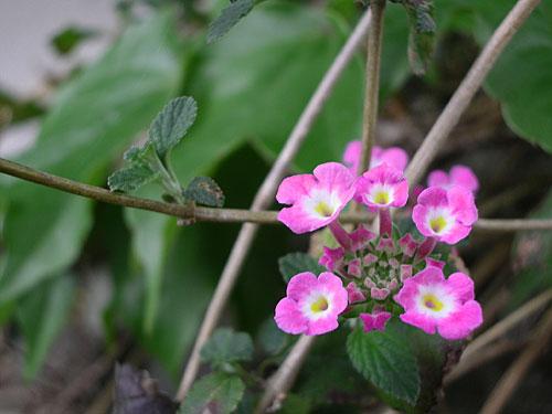ランタナの花が咲いた、わ