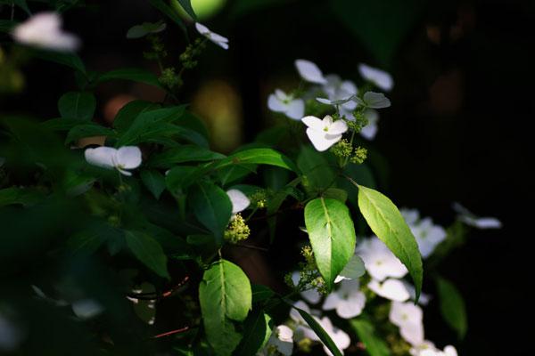 紫陽花.BLOG