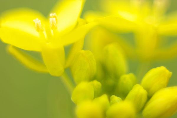 琢磨菜の花