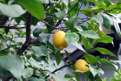 レモン 001