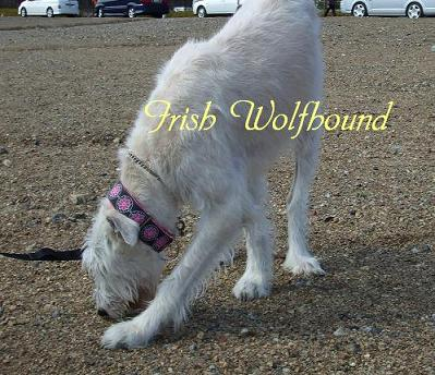 Irish Wolfhound02