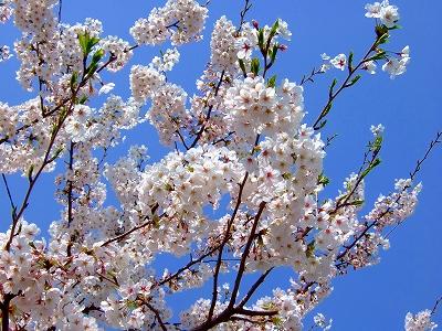 満開の桜♪