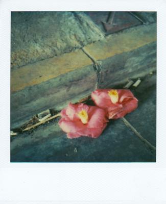 camellia01.jpg