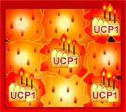 UCP1が脂肪を燃やす!!