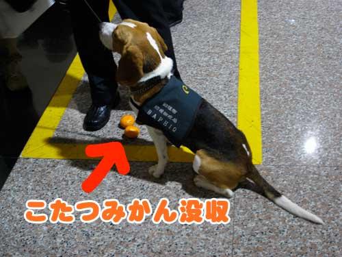 桃園機場のビーグル犬