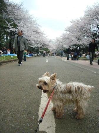 2007-3-31-hanami-komazawa.jpg