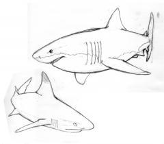 サメ-下絵