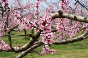 豊田市 猿投地区 桃の花2
