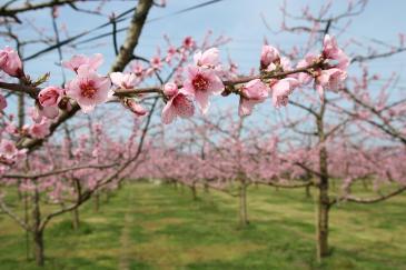 豊田市 猿投地区 桃の花