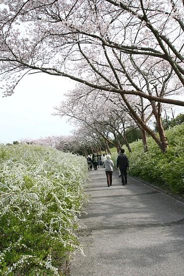 豊田市 緑化センター 桜と雪柳