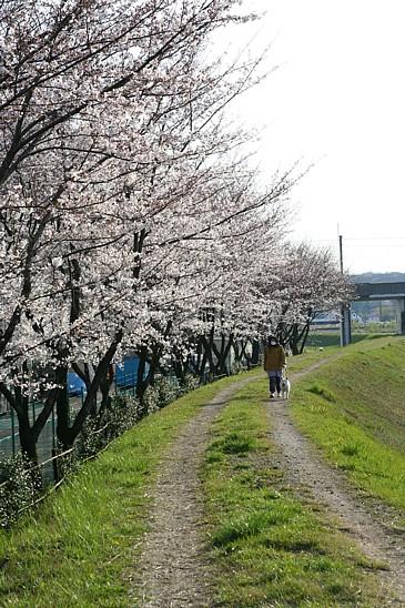 とある 土手の桜