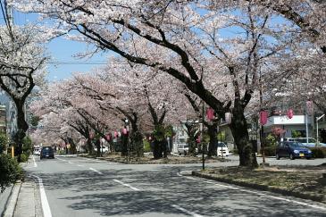 飯田市 道端の桜