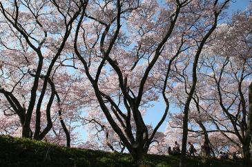 高遠城址公園 桜の影絵