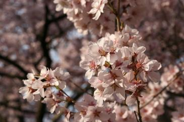 高遠城址公園 桜 4月12日 夕日を浴びた桜