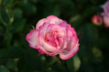 鶴舞公園 バラ園のバラ