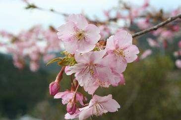 新城市川売の梅 河津桜