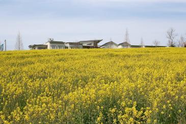 愛知牧場2009年4月 斜面の菜の花畑