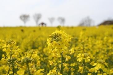 愛知牧場2009年4月 菜の花畑迷路 近く