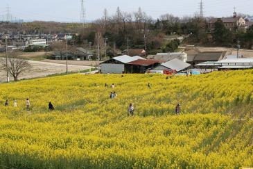 愛知牧場2009年4月 菜の花畑迷路全景