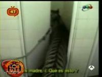 トイレ中に虎乱入!!