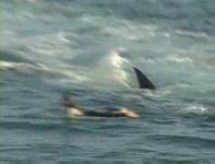 ホオジロザメと仲良くサーフィン