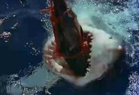 ホオジロザメの餌付け