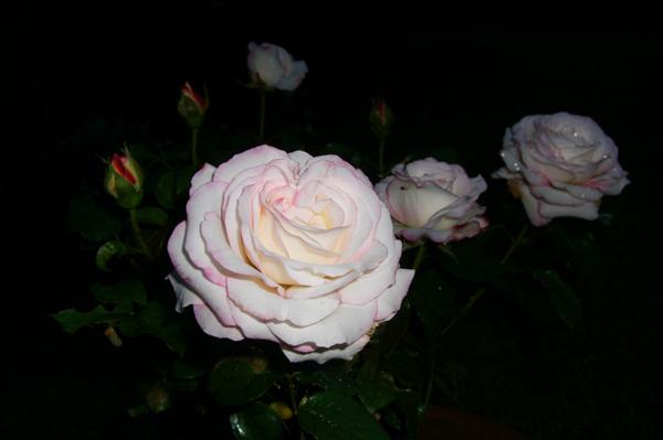 バラ…薄桃