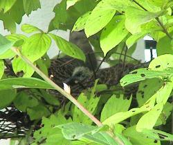 ハトの赤ちゃん