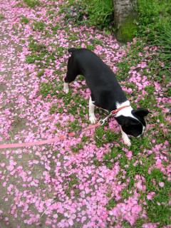 桃の花じゅうたん