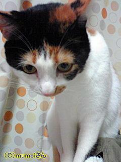 おかっぱヅラ猫 らんちゃん③