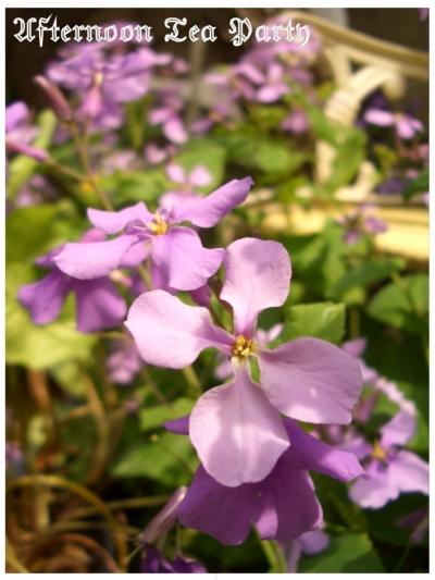 ガーデニング 紫花菜 満開