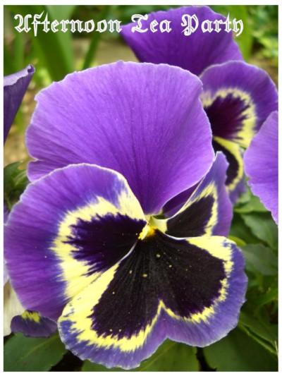 ガーデニング パンジー 紫 黄色の縁取り