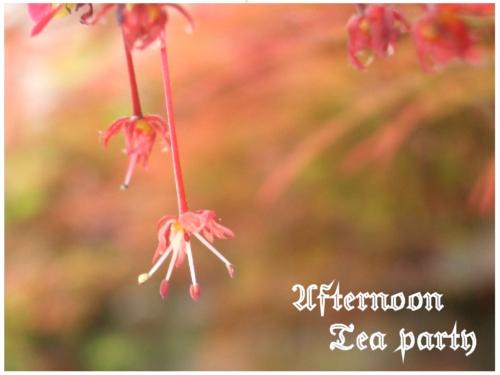 ガーデニング 木 モミジ カエデ 春 赤 花