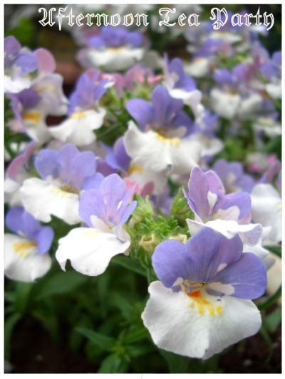 ガーデニング ネメシア 紫白 二色 縦