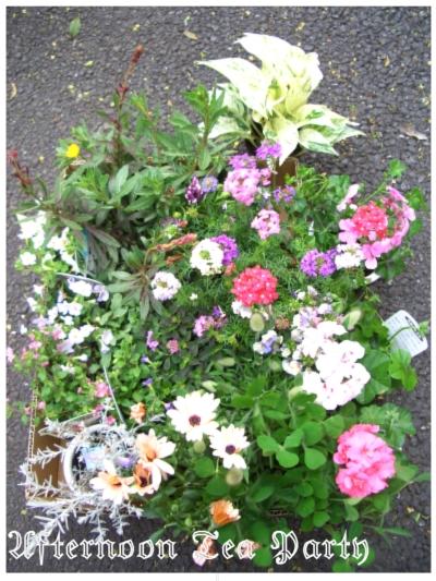 ガーデニング 園芸店購入の草花
