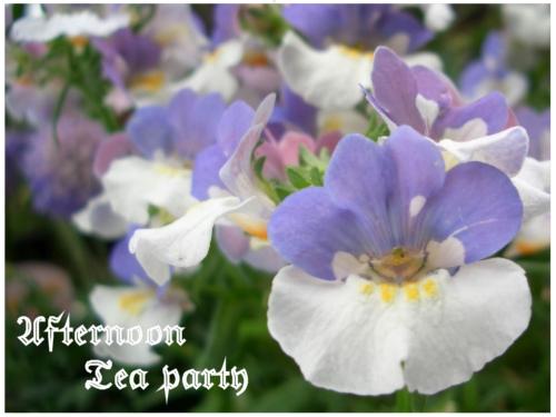 ガーデニング ネメシア 紫白 二色 横