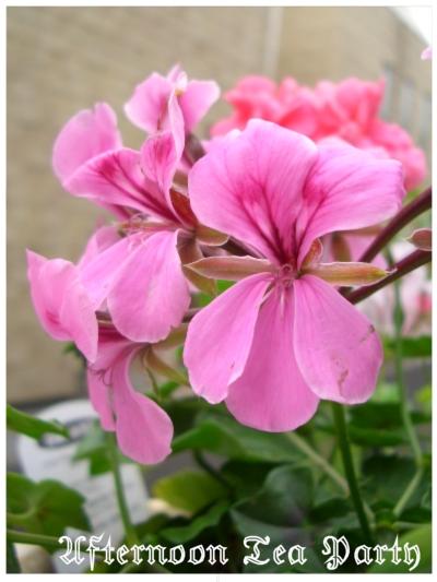 ガーデニング アイビーゼラニウム ピンク紫