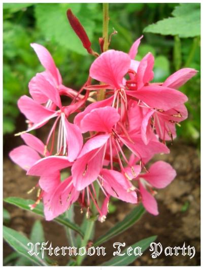 ガーデニング ガウラ 花 ピンク
