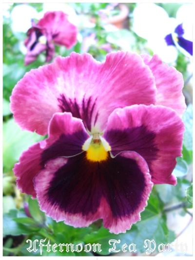 ガーデニング パンジー 赤紫