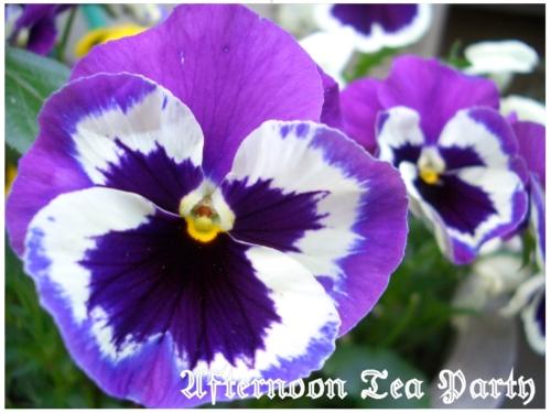 ガーデニング パンジー 紫 白