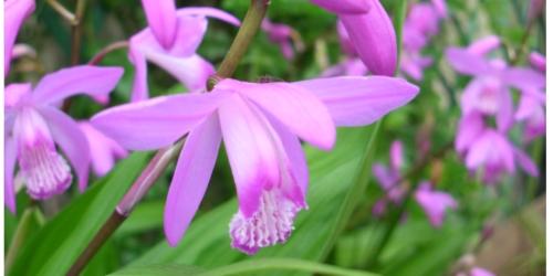 ガーデニング シラン 紫蘭 ピンク 横長