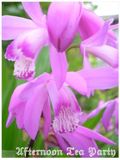 ガーデニング シラン 紫蘭 紫 縦