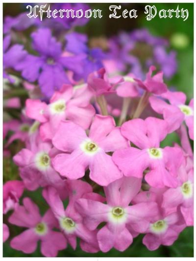 ガーデニング バーベナ 花手毬 ピンク