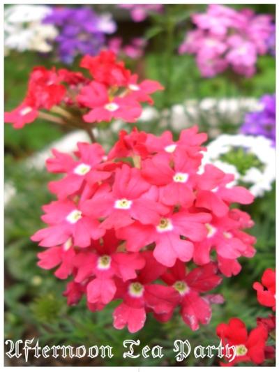 ガーデニング バーベナ 花手毬 濃いピンク