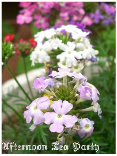 ガーデニング バーベナ 花手毬 薄紫