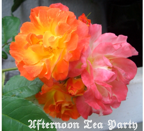 ガーデニング バラ ふれ太鼓 四季咲き オレンジ ピンク 横